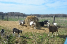 goats outdoors