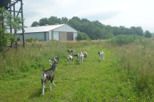our goats going out to pasture