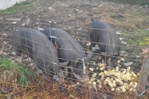 pigs eating corn