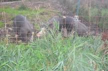 pigs in pasture